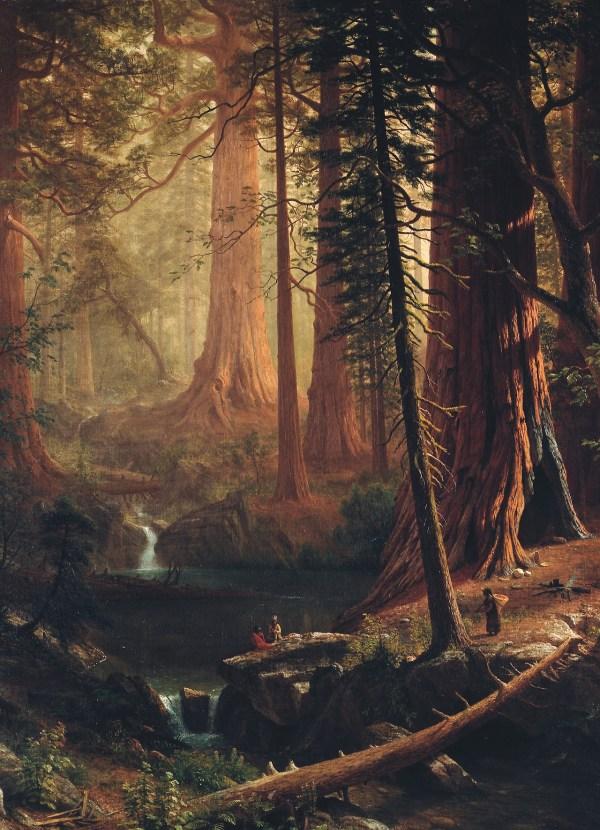 Giant Redwood Trees Of California - Albert. Art And Salt