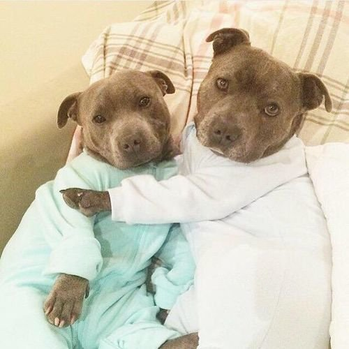 Pitbulls in jammies  El Gugol