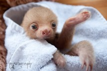 Primatography Sloth Love Baby Two Toed