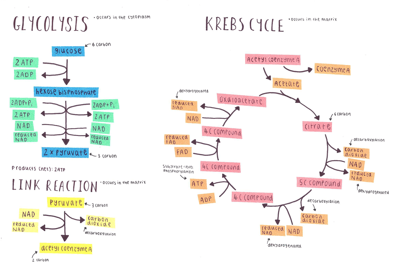 explain krebs cycle with diagram how to draw lewis dot diagrams hstudies