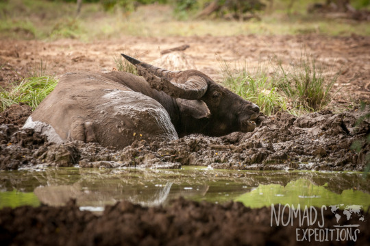 Komodo national park indonesia island tropical Asia indo pacific dry wet mud resting wildlife animal creature dangerous heat environment climate wild travel buffalo water hole