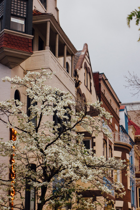 cherry blossoms Washington DC Georgetown