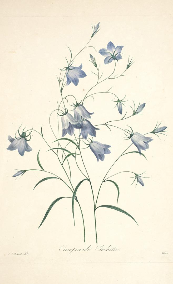 Pierre Joseph Redouté, Blue Bells, 1833. From: Choix des plus belles fleurs et des plus beaux fruits (1827). Plantgenera.org