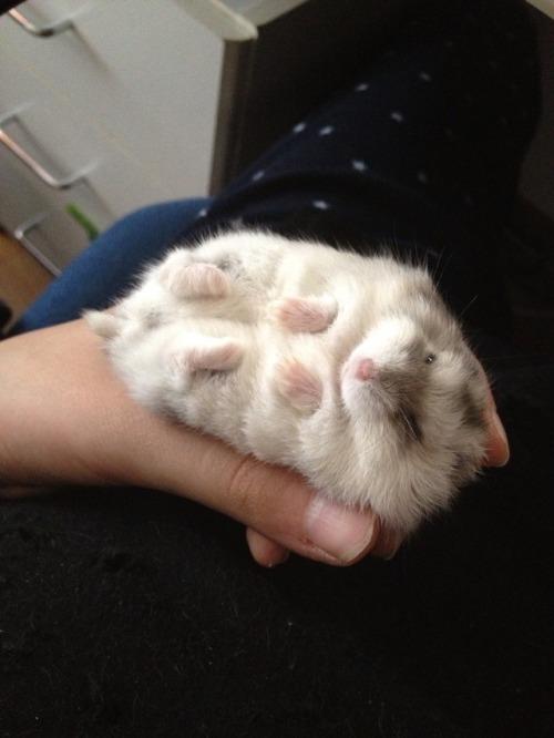 Hamster Tumblr