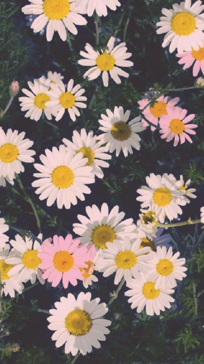 Cute Pastel Wallpaper For Pc Daisy Flowers Wallpaper Tumblr