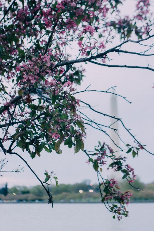 Cherry blossoms Washington DC Travel