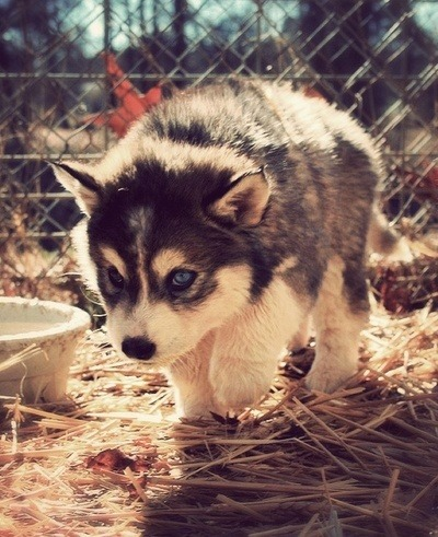 Cute Husky Puppies With Blue Eyes Wallpaper Pomsky On Tumblr