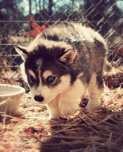 Cute Pomeranian Puppies Wallpaper Pomsky On Tumblr