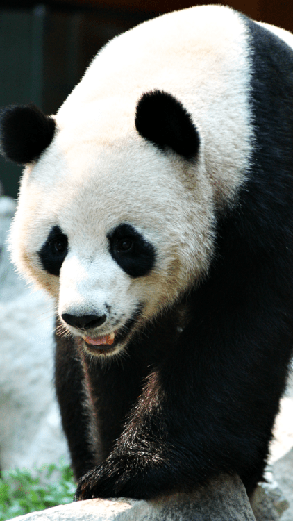 Cartoon Network Iphone Wallpapers Panda Wallpaper Tumblr