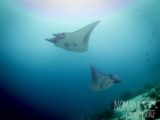 manta ray underwater animal filming scuba diving indonesia Komodo national park indo pacific blue animal wildlife