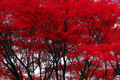 Fall Sunshine Wallpaper Red Trees On Tumblr