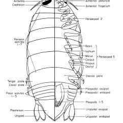 Opossum Skeleton Diagram Meter Socket Wiring Pill Bug Anatomy Related Keywords Long