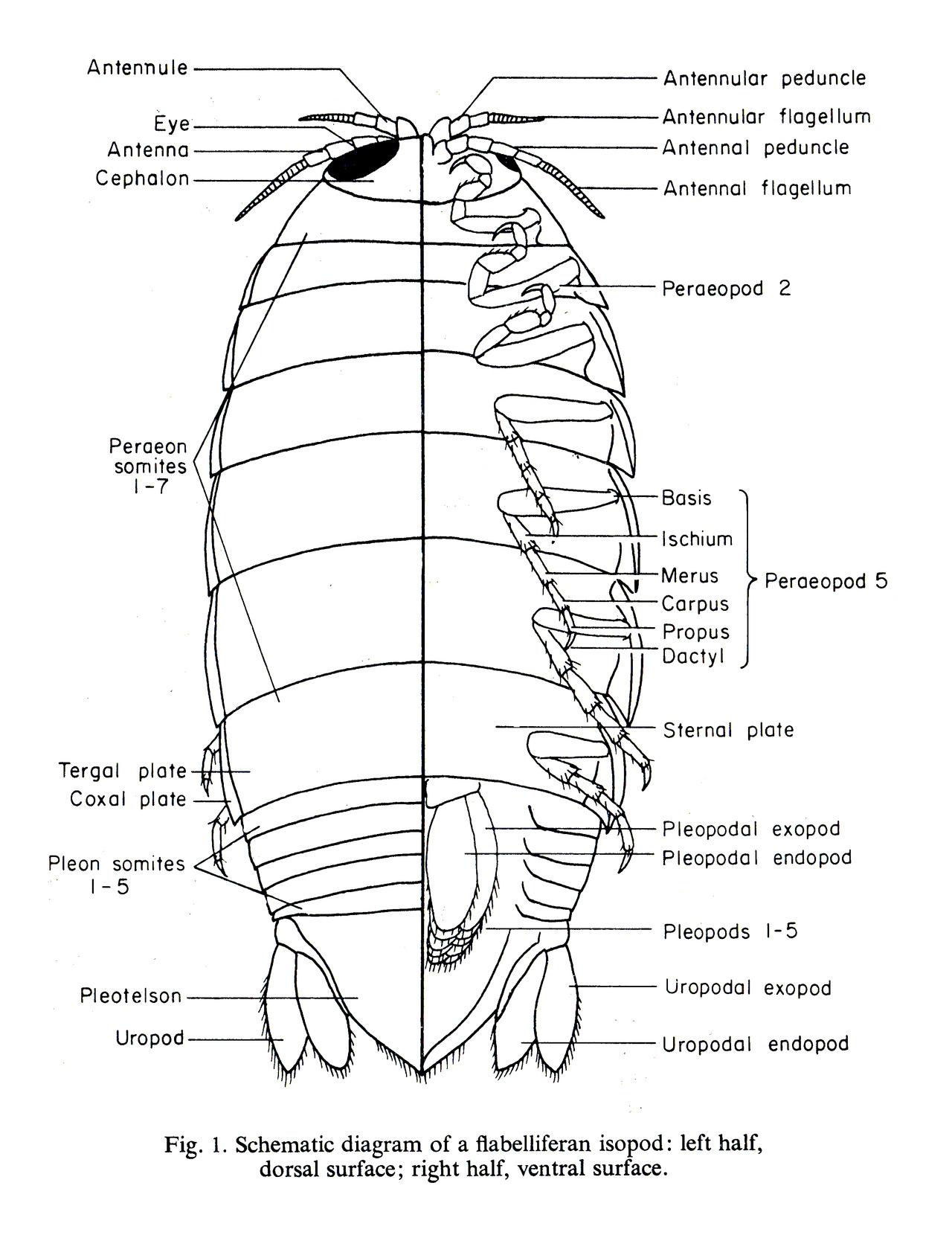 opossum skeleton diagram f2 molecular orbital pill bug anatomy related keywords long
