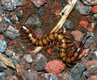 Vietnamese Centipede (Scolopendra subspinipes) | Dangerous ...