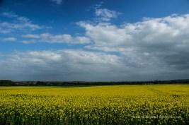 Wie ein Teppich: Rapsfelder in der Normandie