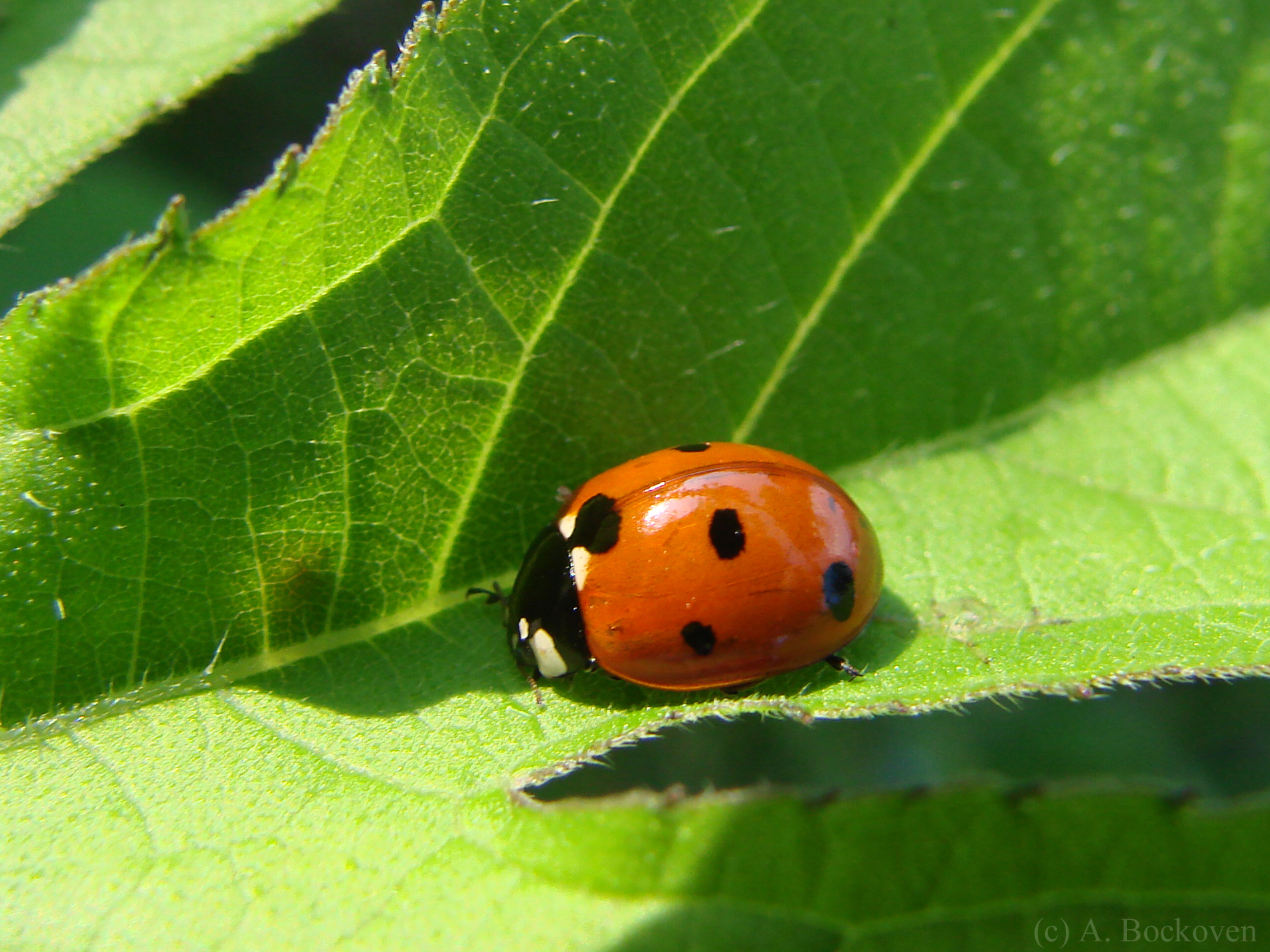 Coccinellidae  6legs2many