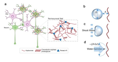 small resolution of  a neurons surrounded by the ecm in the cns the region in ecm in the immediate vicinities of neurons are called perinuronal net pnn