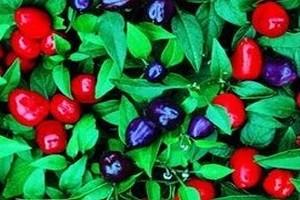 Выращиваем горький или острый перец в квартире: на подоконнике или балконе. Как посадить горький перец из семян дома — посев на рассаду