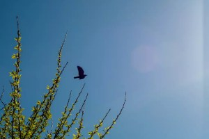 A crow flying in the sky set against some green leaves
