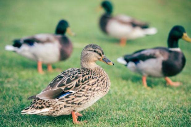 Stepping On The Ducks (Joke)