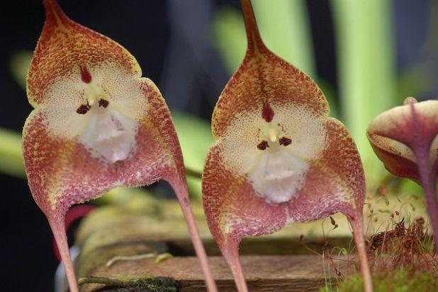 Monkey Orchids Are Nature's Wonderful Creations