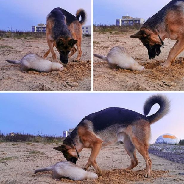 Ferret And A German Shephard Became Best Friends