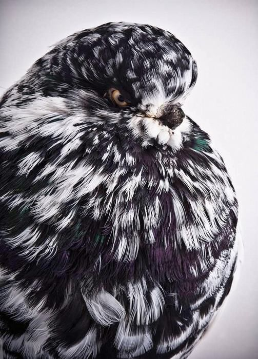 18 Most Beautiful Pigeons Photographed By Richard Bailey
