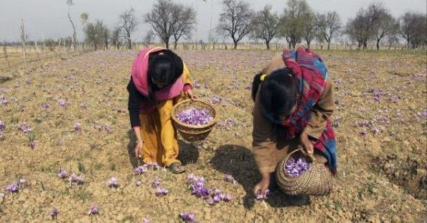 The Kashmir's Saffron Flowers Are Truly Beautiful