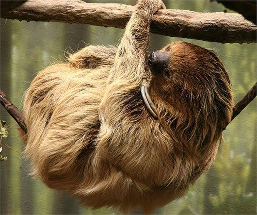 Meet The Laziest Animal In The World