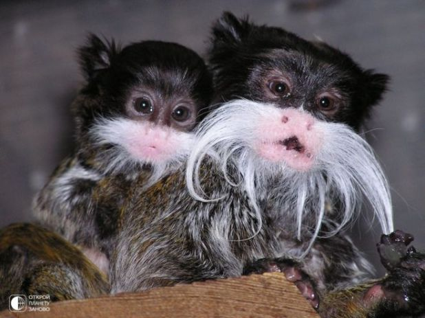 Meet Tamarin Monkeys With Mustaches