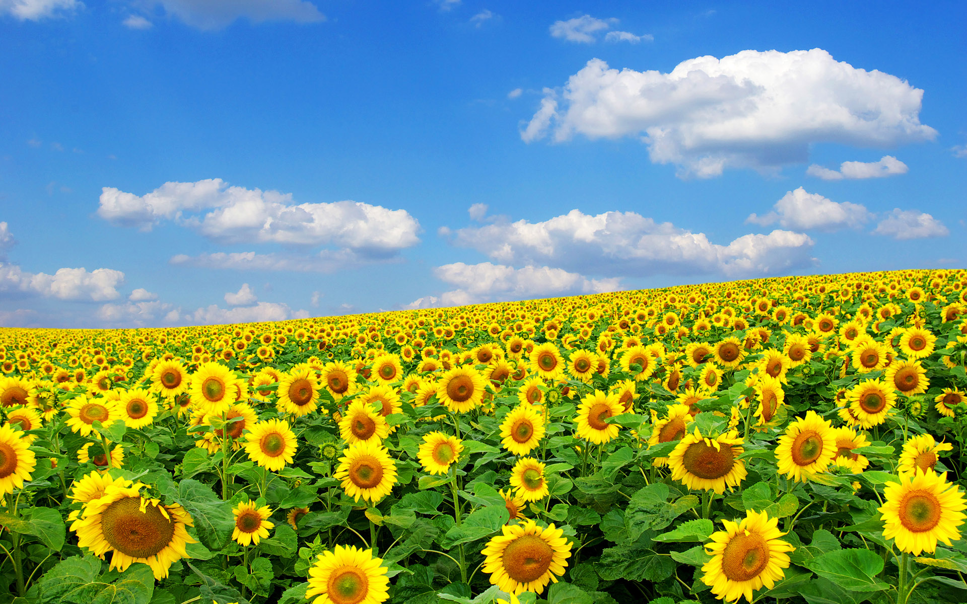 Snow Falling Wallpaper For Ipad Sunflowers Raising The Head And Smiling They Deserve The