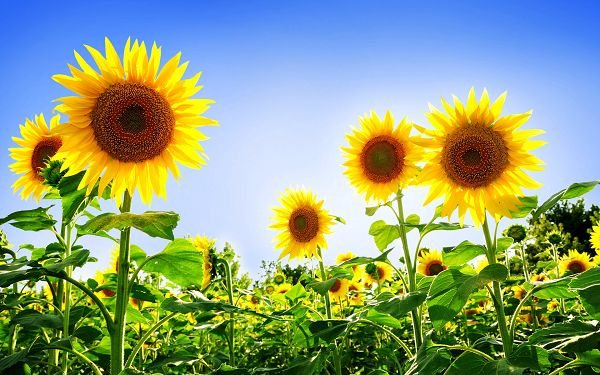 Free Scenery Wallpaper - Includes a Field of Sunflowers, Looking Good on Any Digital Device!,click to download