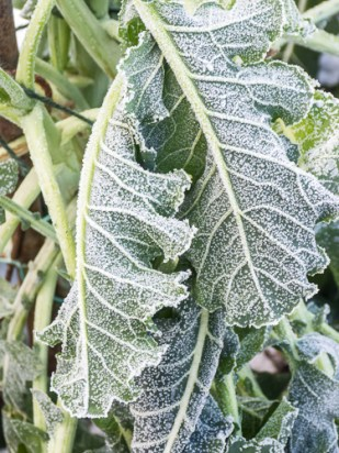 frozen psb leaves