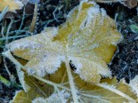 blackcurrant leaf