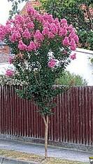 Consiglio per albero da vaso  Forum Giardinaggio