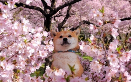 Shiba Inu Cute Desktop Wallpaper Shiba Inu Aesthetic Tumblr