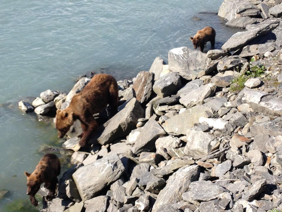 A grizzly sow and two of her four cubs