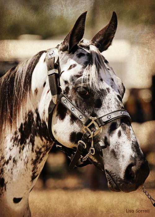 Fall Wallpaper Horses Sorrel Appaloosa Tumblr