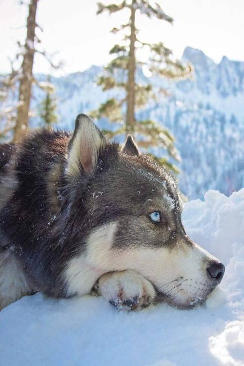 Cute Puppies Image Wallpaper Siberian Husky On Tumblr