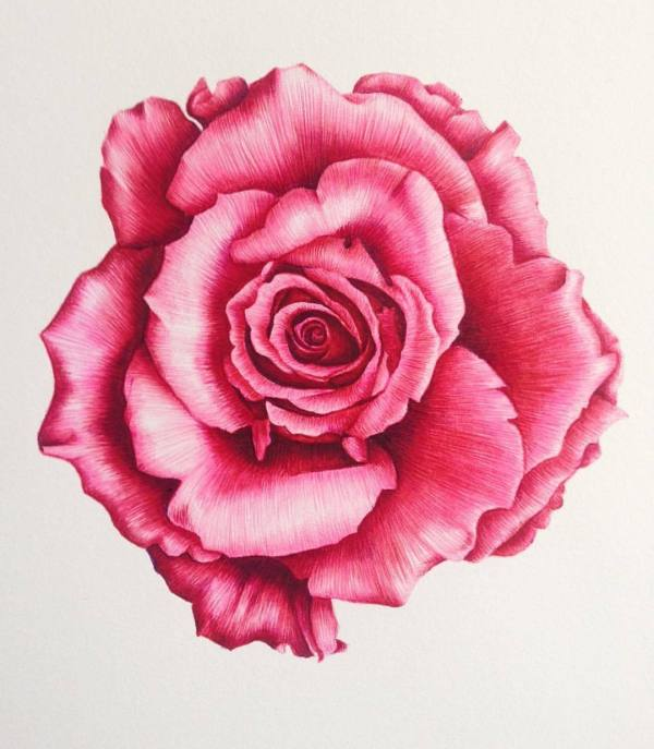 Carmen Lyons Botanical Illustration #botanicalart #