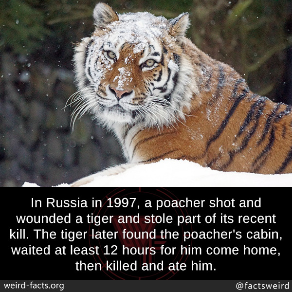In Russia in 1997, a poacher shot and wounded a tiger and