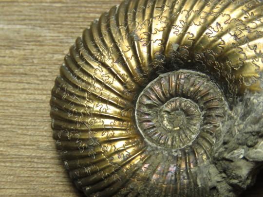 Pyrite ammonite fossil
