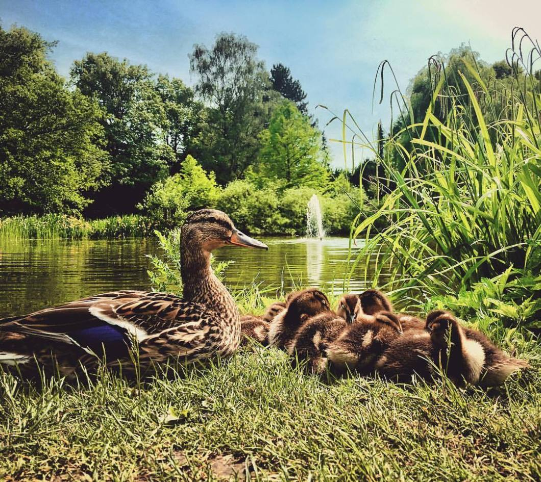 Hanging out with the kids. Bielefeld Nordpark, 2018..#photooftheday #onephotoaday #photography #iphoneonly #iphonography #iphonephotography #shotoniphone #colorphotography #people #social #portrait #peoplephotography #socialphotography #portraitphotography #streetphotography #streetlife #streetstyle #reportage #reportagephotography #duck #ducks #ente #enten #animals #nature #naturephotography #iphone6s #nordparkbielefeld #kids #nachwuchs (hier: Café im Nordpark Bielefeld)
