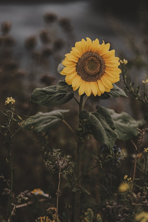 Sunflower Wallpaper With Quote Hipster Sunflower Tumblr