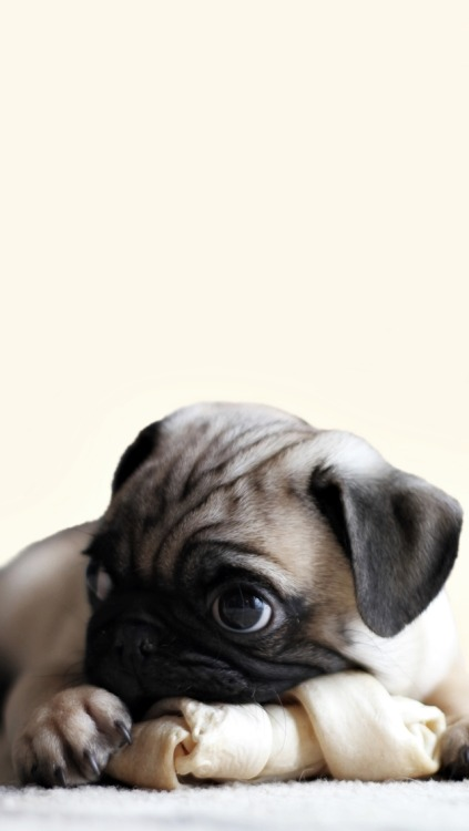 Cute Pug Wallpapers For Iphone Pug Wallpaper Tumblr