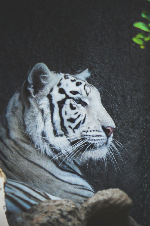 Tiger Iphone 6 Wallpaper White Tiger On Tumblr