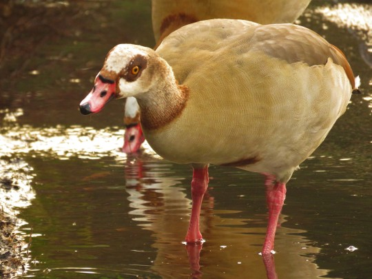 Egyptian Goose at Kew Gardens.