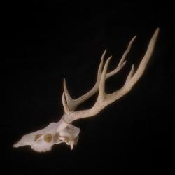 ioseee:  Sika deer.
