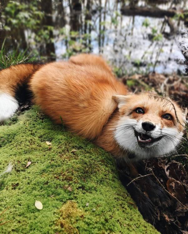 Fox - Hangin In Moss