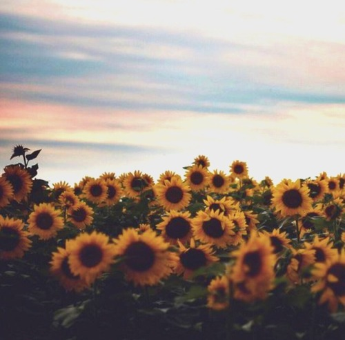 Poetry Love Quotes Wallpaper Sunflowers On Tumblr